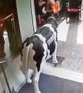 Vaca-ficticia