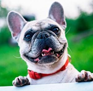 Bulldog-Francés