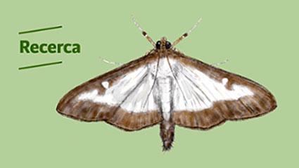 Mariposa-del-boj